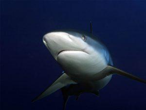 Padang Bai Gili Mimpang Gili Tepekong Bali shark