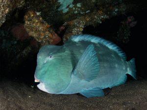 Diving Bali Tulamben bumphead